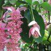 Medinilla, signora in rosa dei nostri salotti
