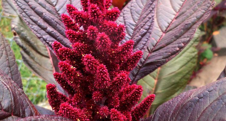 Le innumerevoli virtù dell'amaranto