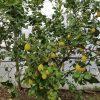 Limone femminiello, l'oro giallo di Massa Lubrense