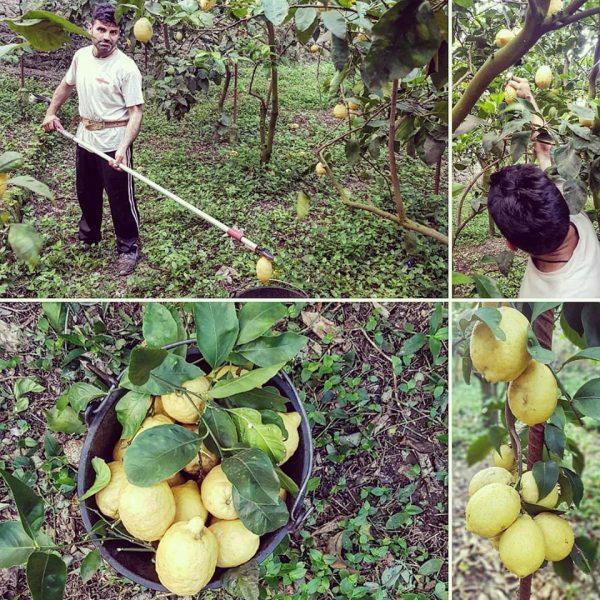 Limone femminello Massese, prodotto rinomato ed oggetto di esportazione in tutto il mondo