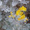 Cineraria Marittima, una pianta ornamentale dalle innumerevoli caratteristiche