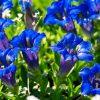 Consigli utili su come coltivare la genziana sul terrazzo