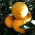 Arance vaniglia – Polpa bionda