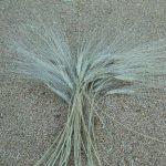 La rufesa grano