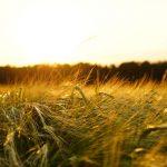 campo di grano foraggi