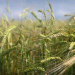 campo di grano foraggio