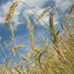 grano e cereali