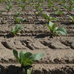 coltivazione tabacco