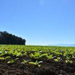 coltivazione tabacco benevento