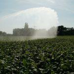 irrigazione campo di tabacco