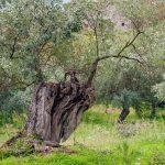 pianta di olive azienda agricola Meola fabio