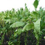 piantagione di tabacco