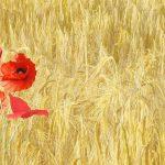 produzione cereali Castelpagano