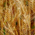 spighe di grano azienda agricola paolucci lina