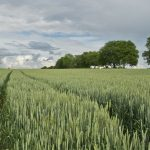 wheat 175960 1280