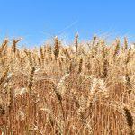 wheat 1900464 1280