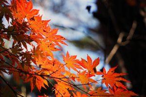 red-maple-leaf-507545_960_720-300x200 L'agenda di Settembre