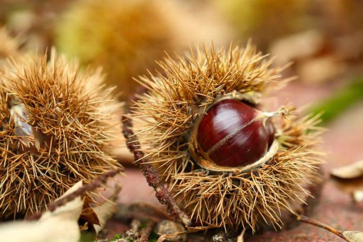 castagne-e1507378946162 Castagne: le proprietà del frutto tipico della stagione autunnale