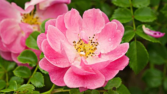 fiore_rosa_canina Rosa canina: a cosa serve e quali sono le sue proprietà curative?