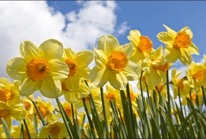 Antola_Narcisi-e1521136349787 Consigli su come piantare i narcisi e come lasciarli fiorire