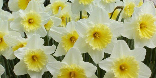 narciso-660x330 Consigli su come piantare i narcisi e come lasciarli fiorire
