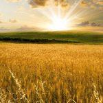 terreno coltivato a farro