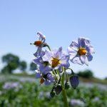 Coltivazione fiore patate Delizia Blu min