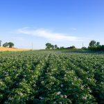 Coltivazione terreno patate Delizia Blu min