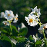 Fiore pianta patate Lady Viola Vitelotte