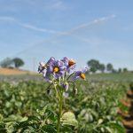 Foto irrigazione patate Delizia Blu