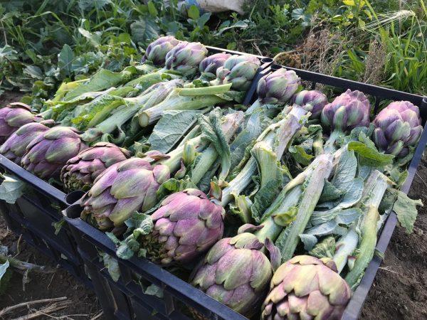 6b58bd3d-34b2-474c-bc18-32aad2affb22-e1548080606183 Carciofo Violetto di Sicilia: dolce, delicato e leggermente amarognolo