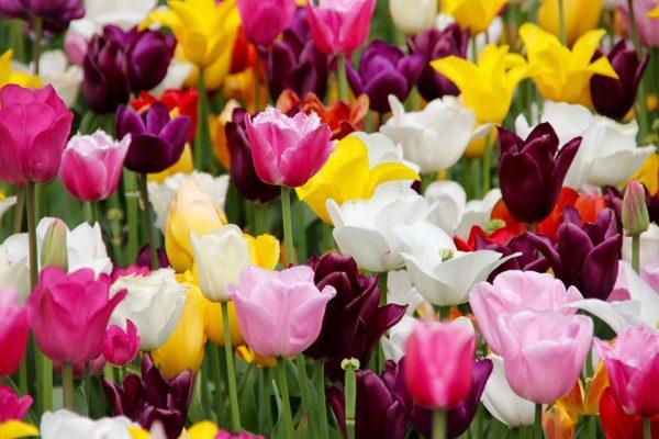 piantare-tulipani-600x400 Il tulipano ti conquista con mille sfumature
