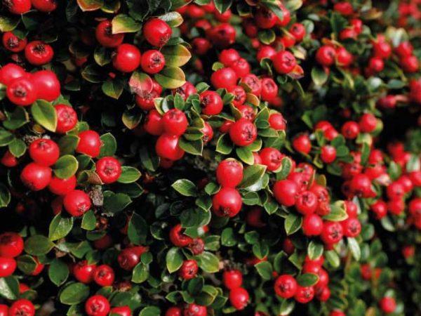cotognastro-cotoneaster-e1549207855557 Il rustico cotoneaster colora i nostri inverni