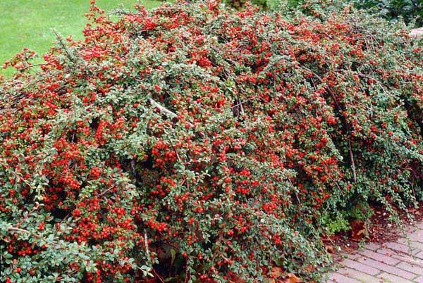 cotoneaster_2 Il rustico cotoneaster colora i nostri inverni