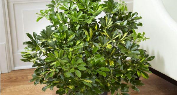 schefflera_NCG1-e1550831137223 Schefflera: pianta sempreverde di grande pregio ornamentale