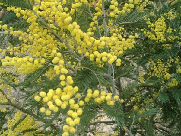 Acacia_dealbata-e1551890520122 Acacia dealbata: simbolo della Festa della Donna