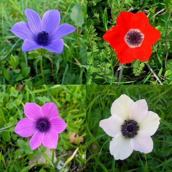 Colorful-Anemone-coronaria-Zachi-Evenor-e1552928891979 Anemone, il fiore del vento: coltivazione, cure e consigli