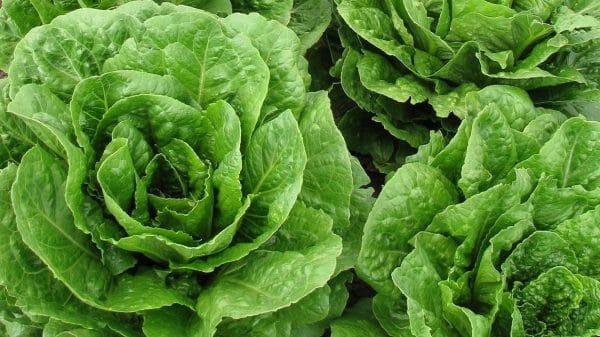 lattuga1-1140x641-e1554883548242 Proprietà, valori nutrizionali e calorie della lattuga
