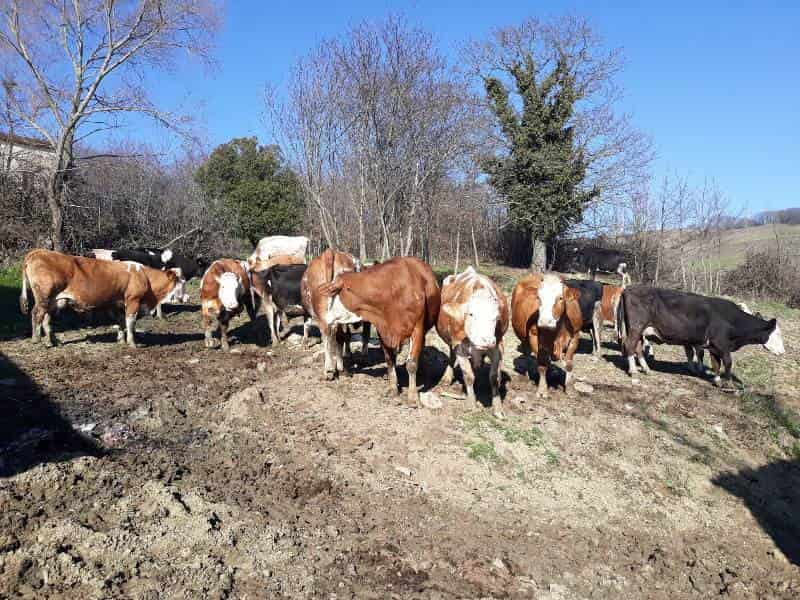 vacche-min Del Grosso Pasqualina: allevamento vacche da latte