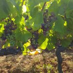 Vino toscano IGT Antonio De Masi